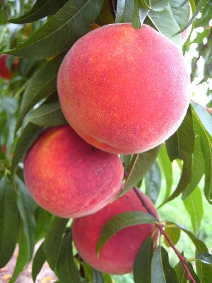 Cresthaven - Peach Varieties