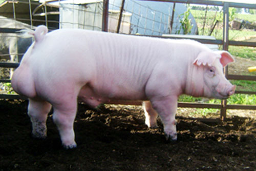 Pig Breeds - Chester White