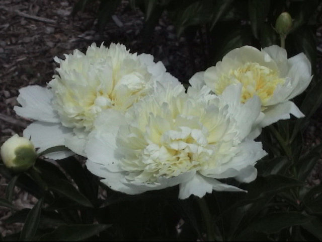 Carolina Moon -                                                                                                                 Peonies species| PIONI | პიონი