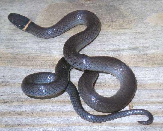 snake species diadophis punctatus edwardsii northern
