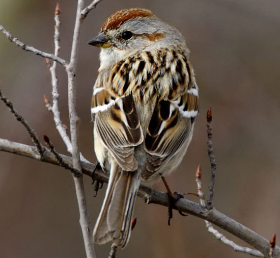 American Tree Sparrow - Bird Species | Frinvelis jishebi | ფრინველის ჯიშები