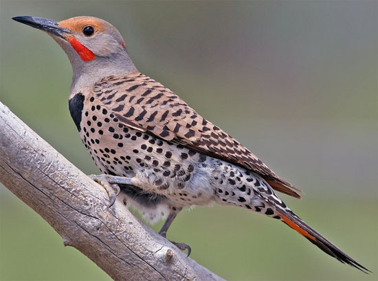 Northern Flicker - Bird Species | Frinvelis jishebi | ფრინველის ჯიშები