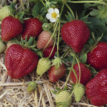 Darselect - Strawberry Varieties