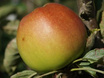 Sturmer Pippin - Apple Varieties