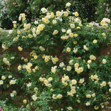rose varieties the pilgrim climbing. Black Bedroom Furniture Sets. Home Design Ideas