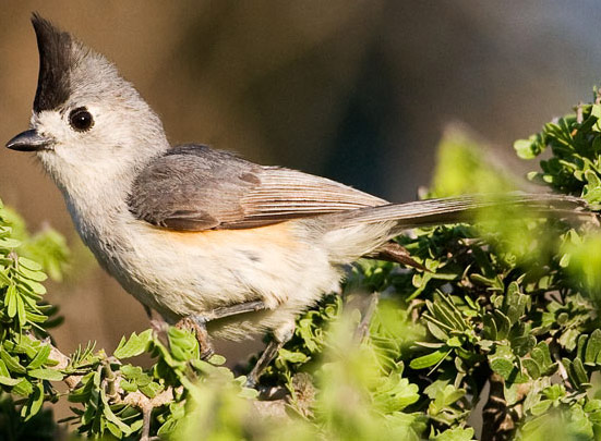 Black-crested Titmouse - Bird Species | Frinvelis jishebi | ფრინველის ჯიშები