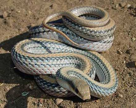 WESTERN PATCH-NOSED SNAKE <br /> Salvadora hexalepis - snake species | gveli | გველი