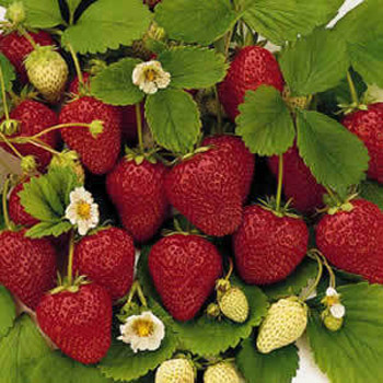 Ovation - Strawberry Varieties