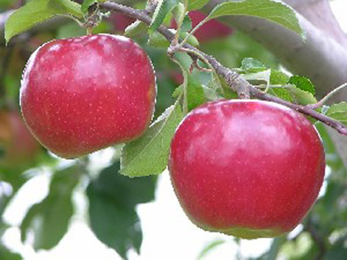 Idared - Apple Varieties