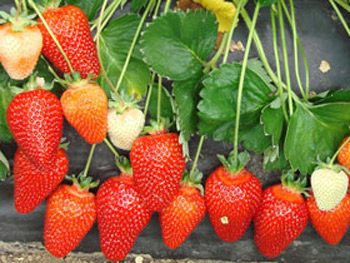 Alba - Strawberry Varieties
