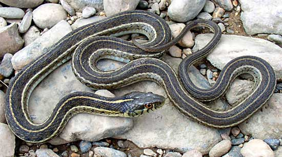 MEXICAN GARTERSNAKE <br /> Thamnophis eques - snake species | gveli | გველი