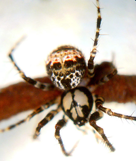 Pirate Spider Pirate spider