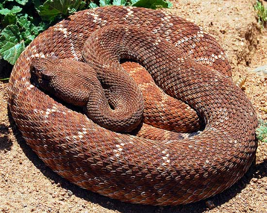 Crotalus ruber - Red Diamond Rattlesnake - snake species | gveli | გველი