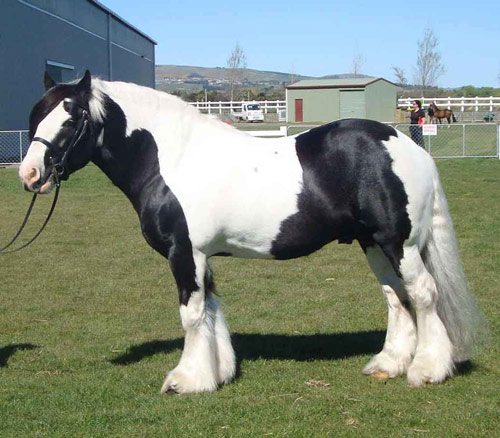 Horse Breeds American Drum Horse List Of Common Horse