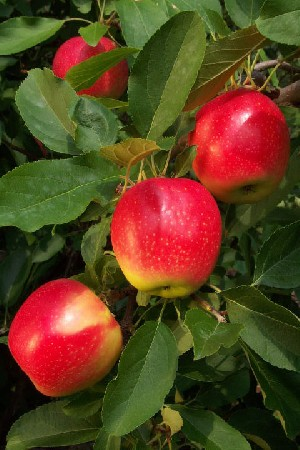 Fulford Gala - Apple Varieties