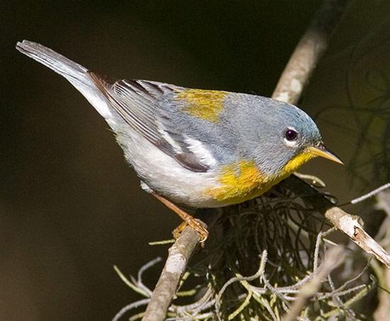 Bird Species Northern Parula