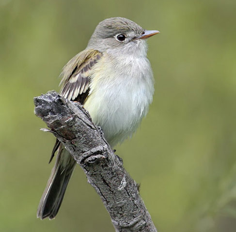 Alder Flycatcher - Bird Species | Frinvelis jishebi | ფრინველის ჯიშები