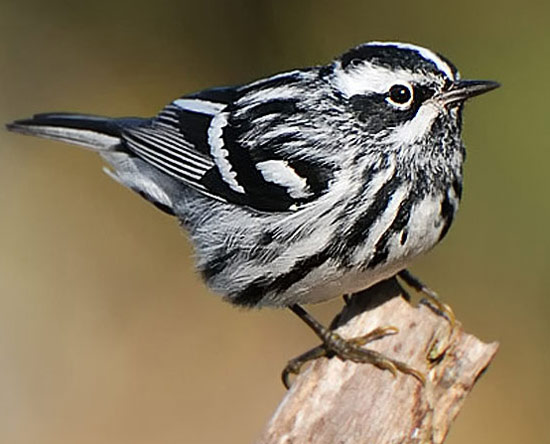 Black-and-white Warbler - Bird Species | Frinvelis jishebi | ფრინველის ჯიშები