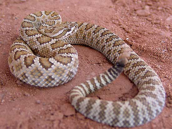 Crotalus oreganus abyssus  - Grand Canyon Rattlesnake - snake species | gveli | გველი