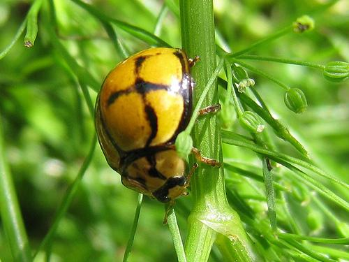 Netty Ladybird - Ladybirds species | CHIAMAIAS JISHEBI | ჭიამაიას ჯიშები
