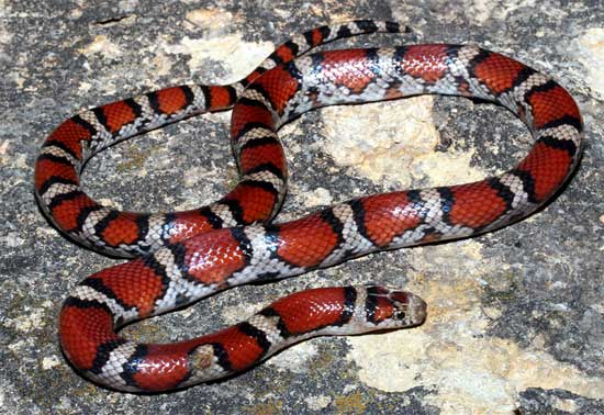 Lampropeltis triangulum syspila - Red Milksnake - snake species | gveli | გველი