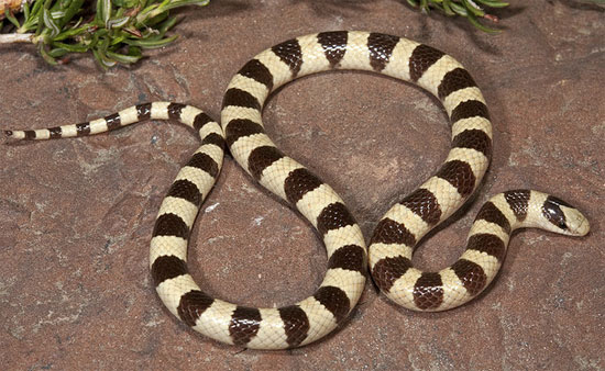 Chionactis occipitalis occipitalis - Mohave Shovel-nosed Snake - snake species | gveli | გველი