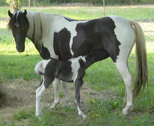 Horse Breeds - American Shetland Pony / horse breeding