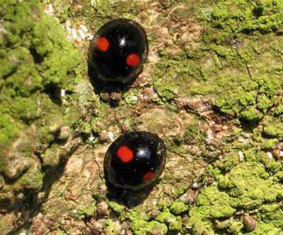 Kidney-Spot - Ladybirds species | CHIAMAIAS JISHEBI | ჭიამაიას ჯიშები