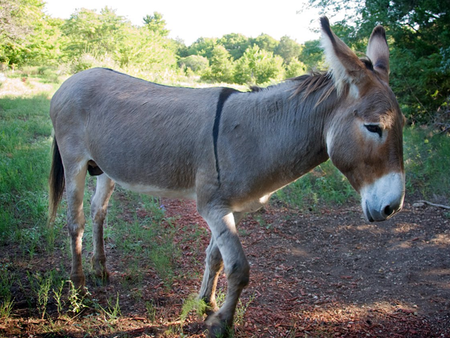 Mary Donkey - donkeys breeds | viris jishebi | ვირის ჯიშები