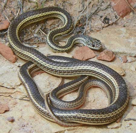 Arizona elegans philipi  - Painted Desert Glossy Snake - snake species | gveli | გველი