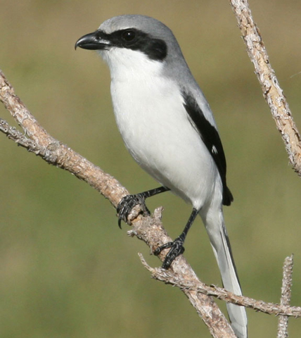 Loggerhead Shrike - Bird Species | Frinvelis jishebi | ფრინველის ჯიშები