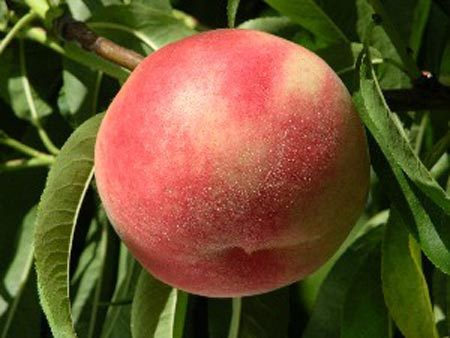 Blushingstar - Peach Varieties