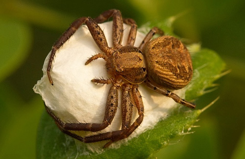 Crab Spider - Spider species | OBOBAS JISHEBI | ობობას ჯიშები