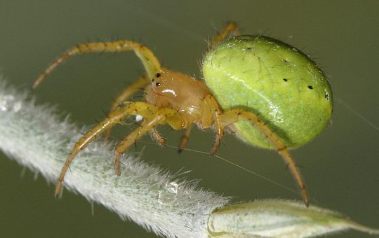Green Orb-weaver - Spider species | OBOBAS JISHEBI | ობობას ჯიშები