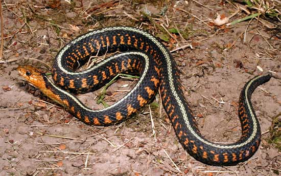 Thamnophis sirtalis concinnus - Red-spotted Gartersnake - snake species | gveli | გველი