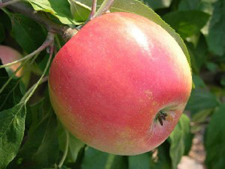 Zestar - Apple VarietiesZestar Apple Tree