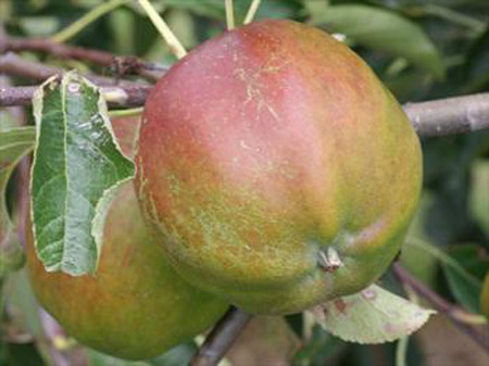 Cornish Gilliflower - Apple Varieties
