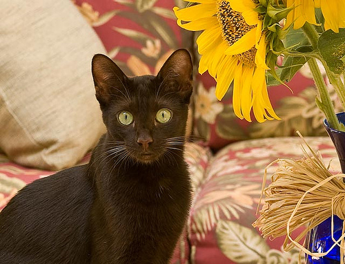 Cat Breeds Havana Brown Information