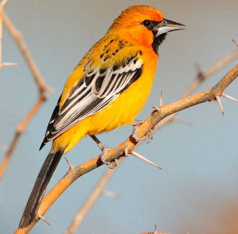Streak-backed Oriole - Bird Species | Frinvelis jishebi | ფრინველის ჯიშები