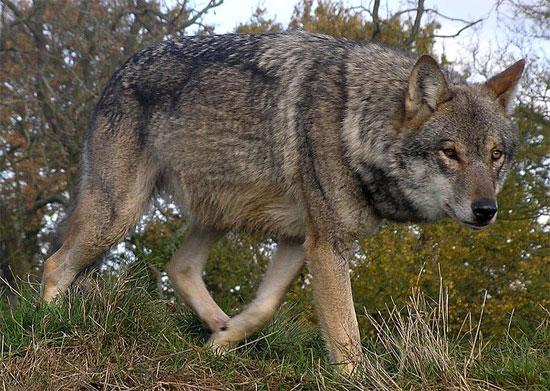 The Italian Wolf|wolf|wolves|wolf species|wolf breeds|mgeli|mglebi|mglis jishebi|მგელი|მგლები|მგლის ჯიშები