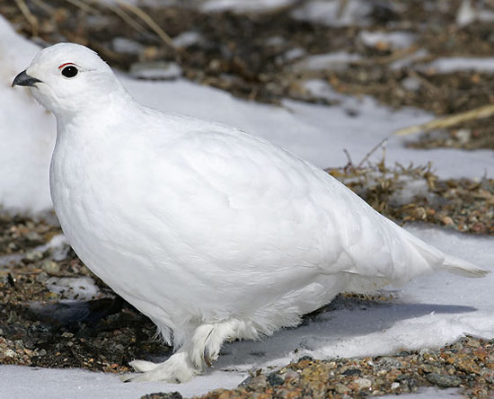 White-tailed Ptarmigan - Bird Species | Frinvelis jishebi | ფრინველის ჯიშები