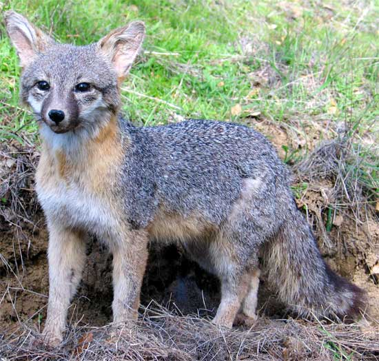 Gray fox habitat - photo#24