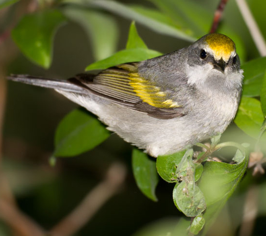 Golden-winged Warbler - Bird Species | Frinvelis jishebi | ფრინველის ჯიშები