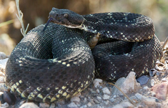 ARIZONA BLACK RATTLESNAKE  <br />   Crotalus cerberus - snake species | gveli | გველი