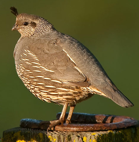 California Quail - Bird Species | Frinvelis jishebi | ფრინველის ჯიშები