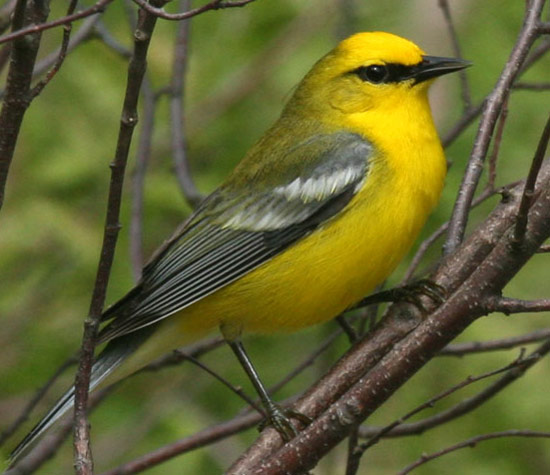 Blue-winged Warbler - Bird Species | Frinvelis jishebi | ფრინველის ჯიშები