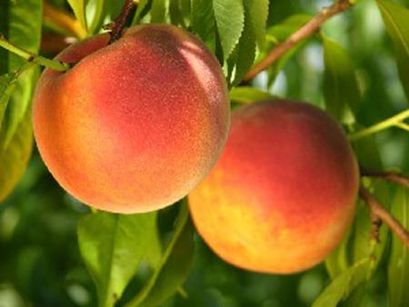 Glowingstar - Peach Varieties
