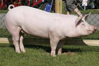 Pig Breeds Large White