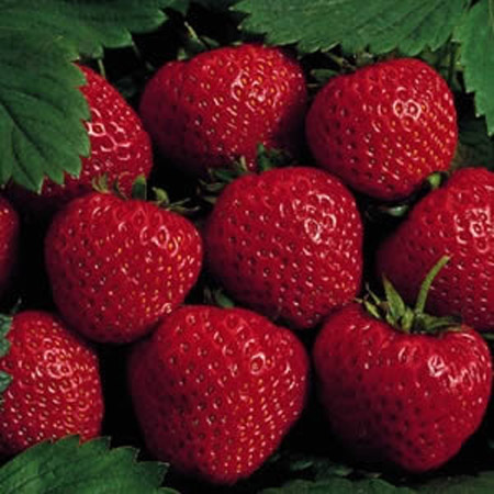 Earliglow - Strawberry Varieties