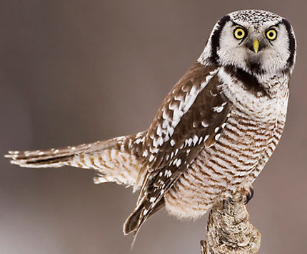 Northern Hawk Owl - Bird Species | Frinvelis jishebi | ფრინველის ჯიშები